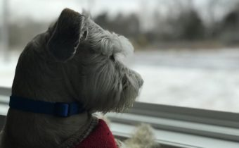 Schnauzer looking out the window, offset by dark, dreary weather